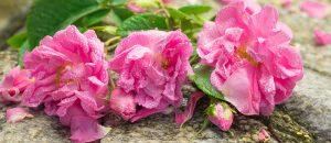 rose festival kazanlak history